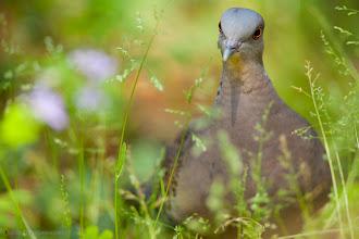 Photo: Eastern Turtle Dove - Streptopelia orientalis