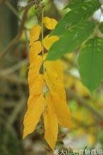 Photo: 拍攝地點: 梅峰-溫帶花卉區 拍攝植物: 紫藤 拍攝日期: 2015_11_13_FY