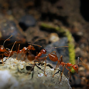 Ants by Samuel Valdecantos - Animals Insects & Spiders ( animals, macro, ants, insects, red ant )