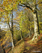 Photo: Autumn Beech Trees, Danestone, Aberdeen