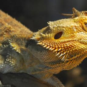 Friend or Foe by Savannah Eubanks - Animals Reptiles ( lizard, bearded dragon )