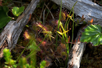 Photo: Insect-eating plant in bog