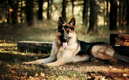 German Shepherd Pack 3 LWP