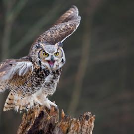 Great Horned Owl by Jen St. Louis - Animals Birds ( raptor, owl, bird of prey, bird, great horned owl,  )