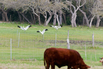 Photo: Whooping cranes landing in field