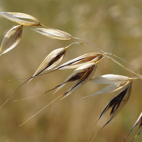 oat by Veronika Gallova - Nature Up Close Leaves & Grasses ( oat,  )