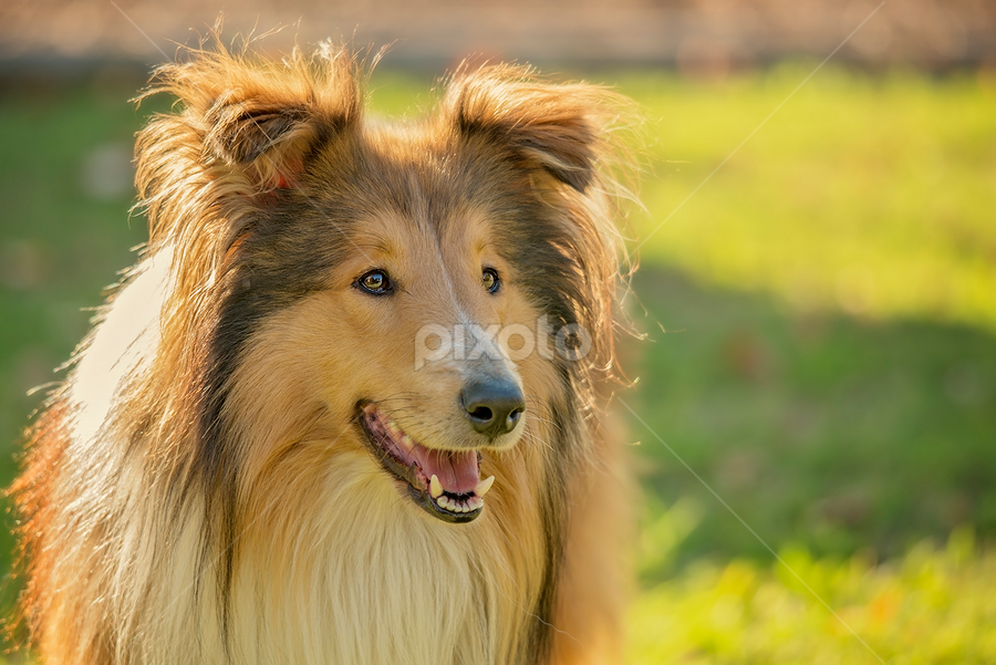 Beau by Wendy Allport - Animals - Dogs Portraits ( pet portrait, collie, rough collie, pet, puppy, lassie, dog, animal,  )