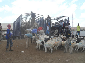 Photo: Loading them up in double-decker trucks, 400 at a time, for the ride to Berbera, and thence on to Saudi