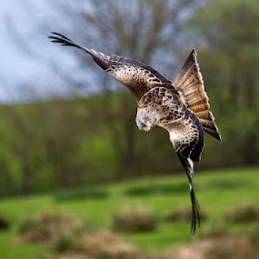 by Nigel Johnson - Animals Birds ( field, gigrin farm, green, trees, brown, red kite )
