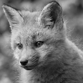 by Steven Liffmann - Black & White Animals ( carnivores, vulpes vulpes, red fox, north american mammal )