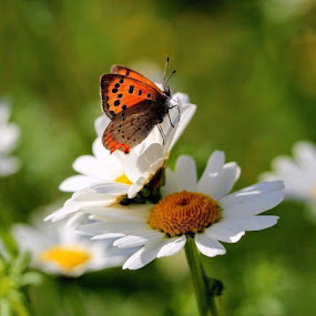 Daisies got company  by Eva Larsson - Flowers Flowers in the Wild ( butterfly, wildflower insect, nature, beautiful, daisies )