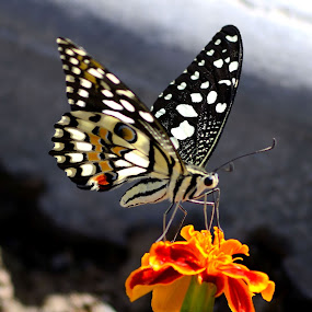 Butterfly with heart design on wings by Sanjeev Kumar - Animals Insects & Spiders (  )