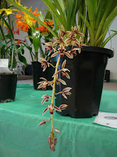 Photo: Cymbidium aloifolium - Lan Đoản Kiếm, Lan Kiếm Lô Hội