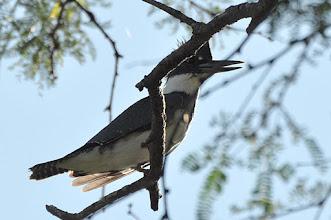 Photo: Belted Kingfisher (Gürtelfischer); Laguna San Felipe, PUE