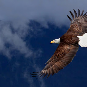 Flyin' High by Pam Mullins - Animals Birds ( bird, canada, nature, bald eagle, wildlife, raptor,  )