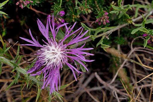 Centaurea corcubionensis