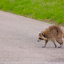 Raccoon III by Staci Ferrara - Animals Other Mammals ( raccoon, nature, nature up close, small mammals, wildlife )
