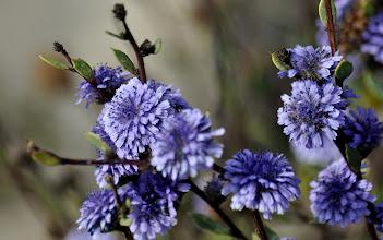 Photo: Globularia alypum