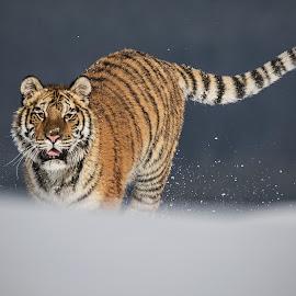 Leila by Jiri Cetkovsky - Animals Lions, Tigers & Big Cats ( winter, tiger, snow, ussurian, leila )