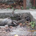 Large Indian Civet Cat