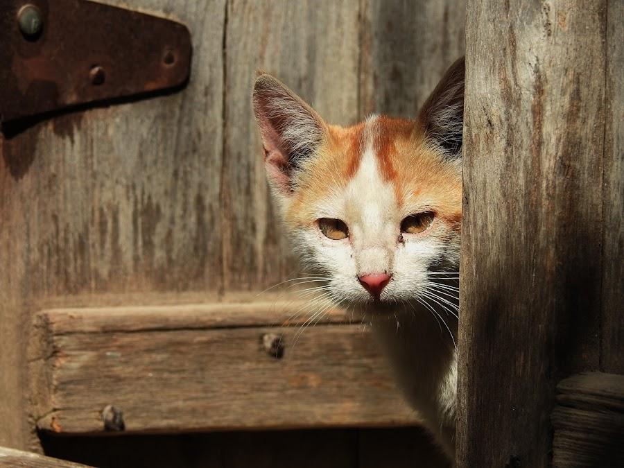 cat eyes by Radhey Kalyankar - Animals - Cats Portraits ( kitten, cat, cute cat, beautiful, click, indian, cute, photo, photography, portrait, love, meow, capture, india, nikon )