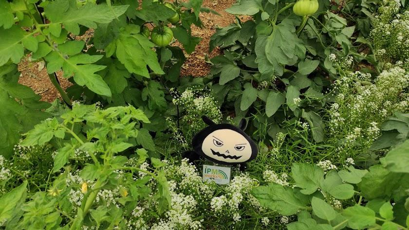Beastie avistado en un invernadero de tomate en la provincia de Almería.