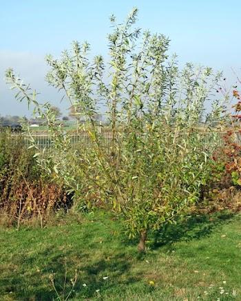 2018-10-30 LüchowSss Garten morgens (20) Bruchweide (Salix fragilis)