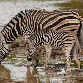 Barcoded Zebras by Judy Patching - Novices Only Wildlife ( nature, wildlife, stripes, mother nature, zebras,  )