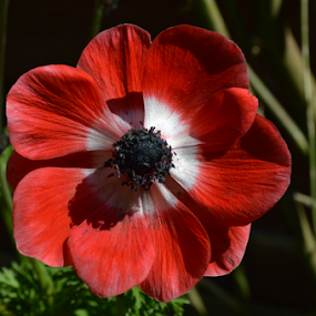 by Iain Weatherley - Flowers Single Flower ( red, single flower, red and white flower, poppy flower, poppy, flower )