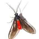 Wasp Moth