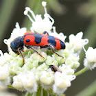 Checkered beetle; Clérido
