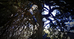 Ejemplar único de sabina albar (Juniperus thurifera).