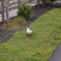 Mallard duck?