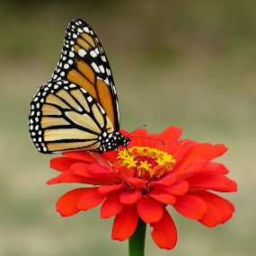 Monarch Butterfly On A Red Zinnia by Lynne Miller - Animals Insects & Spiders ( #maine #lynne #alfred #monarch #butterfly #monarhcflower #zinnia #miller #red )