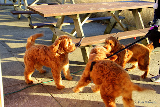 Photo: Even this family of Goldenoodles came out to play!