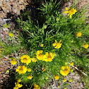 Yellow bitterweed.