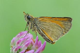 Photo: Thymelicus sylvestris, Hespérie de la houque ou Bande noire, Small Skipper, Karłątek ceglasty  http://lepidoptera-butterflies.blogspot.com/