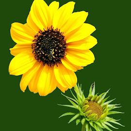 sunny by SANGEETA MENA  - Flowers Flowers in the Wild (  )