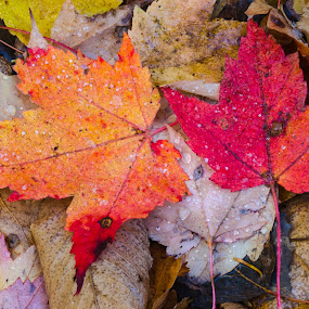 Two Red Maple Leaves by Christopher Burnett - Nature Up Close Leaves & Grasses ( pwcfallleaves, autumn, trees, forest, leaves, fall color )