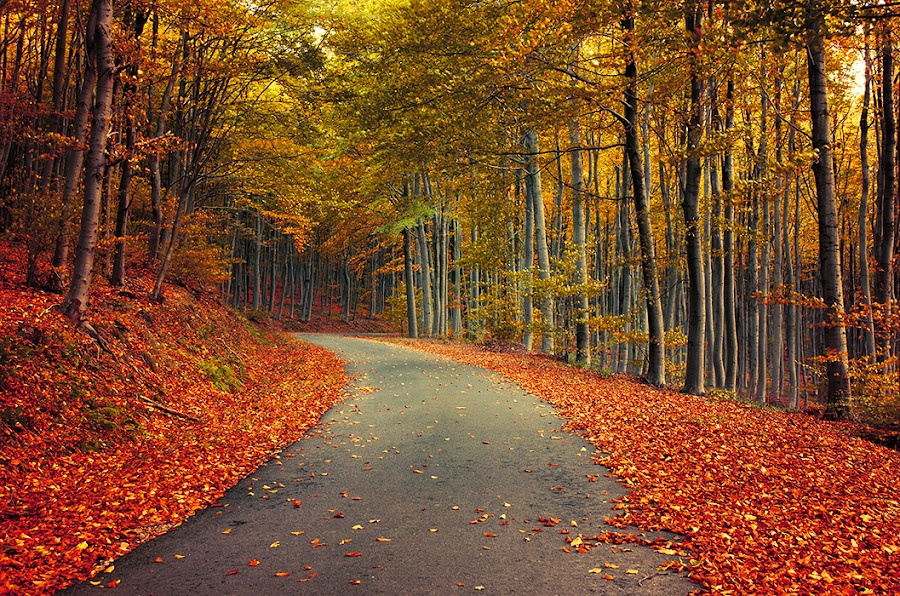 9571 by Zsolt Zsigmond - Landscapes Forests ( autumn, fall, trees, forest, road,  )