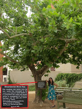 Photo: Beside the Planetarium is the local Apollo Moon Tree, planted in 1976!