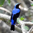 Asian fairy-bluebird- Male