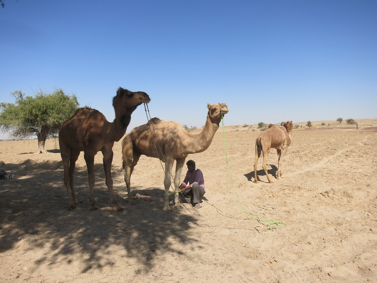 India. Rajasthan Thar Desert Camel Trek. Punja tying up the camels