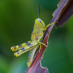 Mr Hopper by Callie Black - Animals Insects & Spiders ( bugs, mr hopper, insect, cairns botanical gardens, grasshopper,  )
