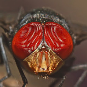 Green Bottle Fly by Bhavya Joshi - Animals Insects & Spiders