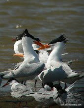 Photo: Royal Terns courting, Bolivar Flats Shorebird Sanctuary, upper Texas Coast
