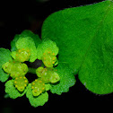 Golden Saxifrage; Hepática dorada