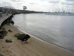 Photo: Saw another black swan at the pier too.  They seem to be fairly common in Australia.