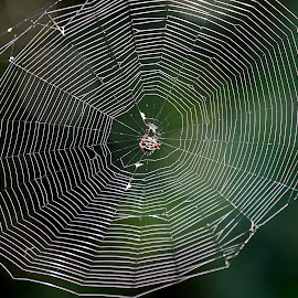 Bizzy, bizzy, bizzy... by Marty Cutler - Animals Insects & Spiders ( spider web, web, spiderweb, insect, spider )