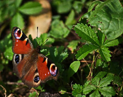 Farfalla sul prato di jovi55